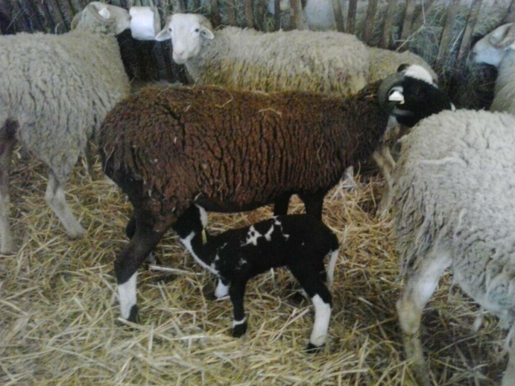 agneau qui tête