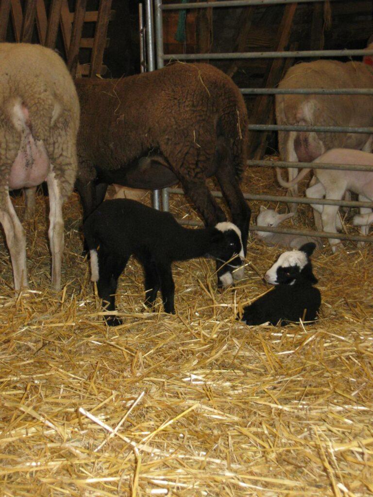 jumeaux agneaux